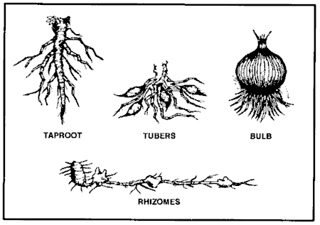 Basic root structures of edible plants