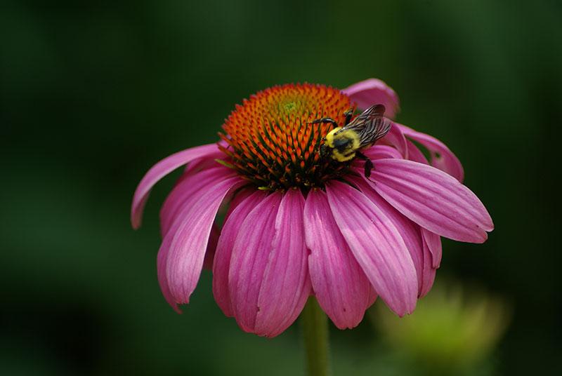 Medicinal Plant: Echinacea