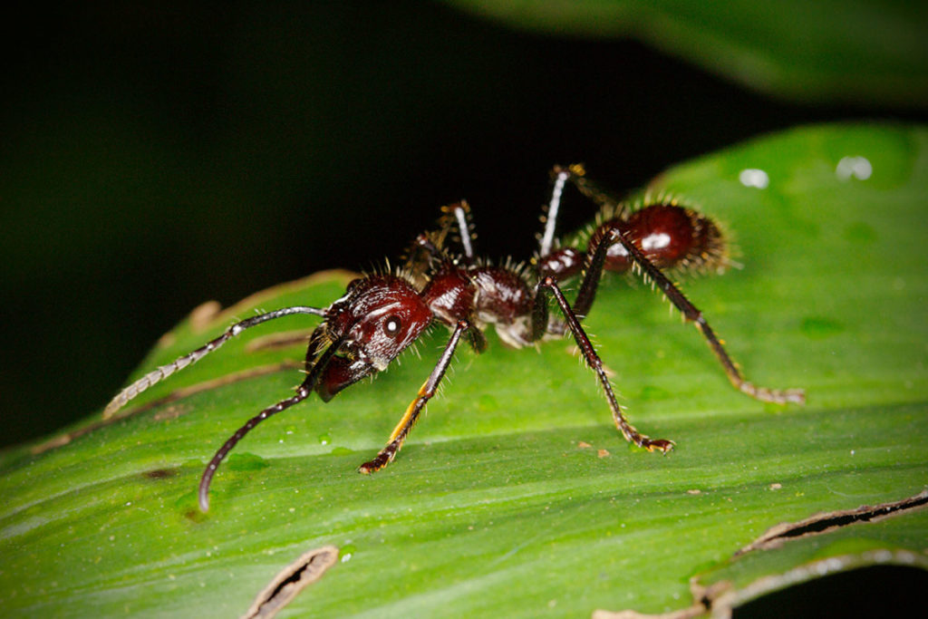 Bullet Ant (closeup)