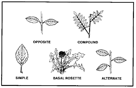 Common leaf arrangements