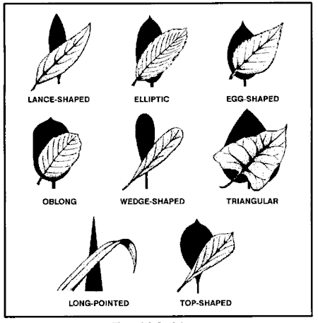 Common leaf shapes for edible plants