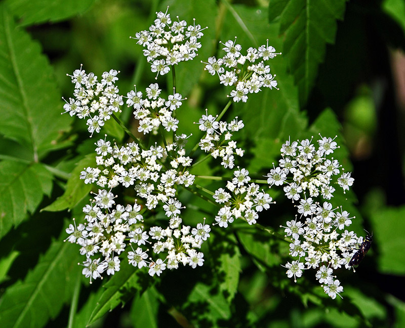 Common Water Hemlock