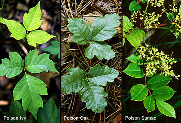 Compare Poison Ivy / Oak / Sumac