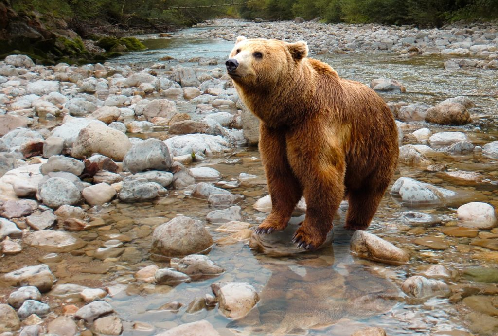 Grizzly Bear in the River