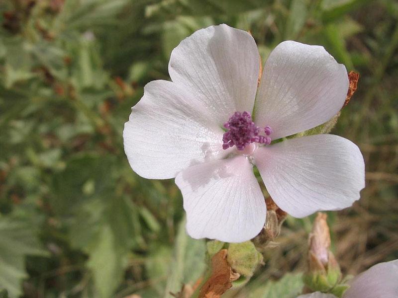 Medicinal plant: marshmallow