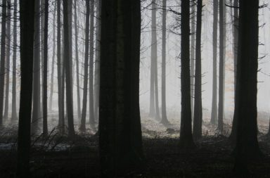 Forest of pine trees in fog