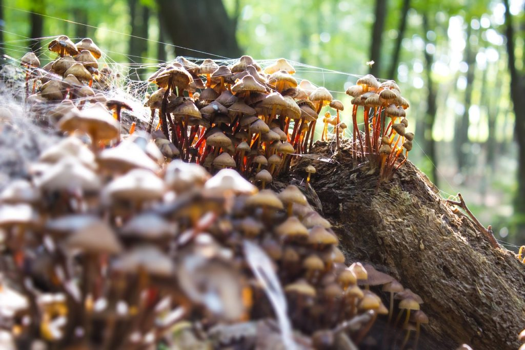 Poison Mushrooms in the Woods