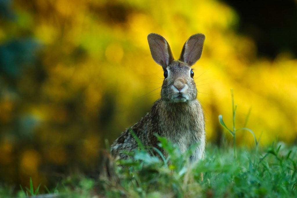 Rabbit in the Grass (closeup)