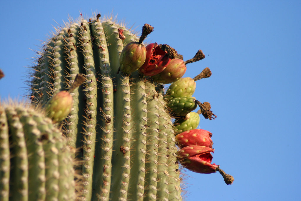 Saguaro Fruit