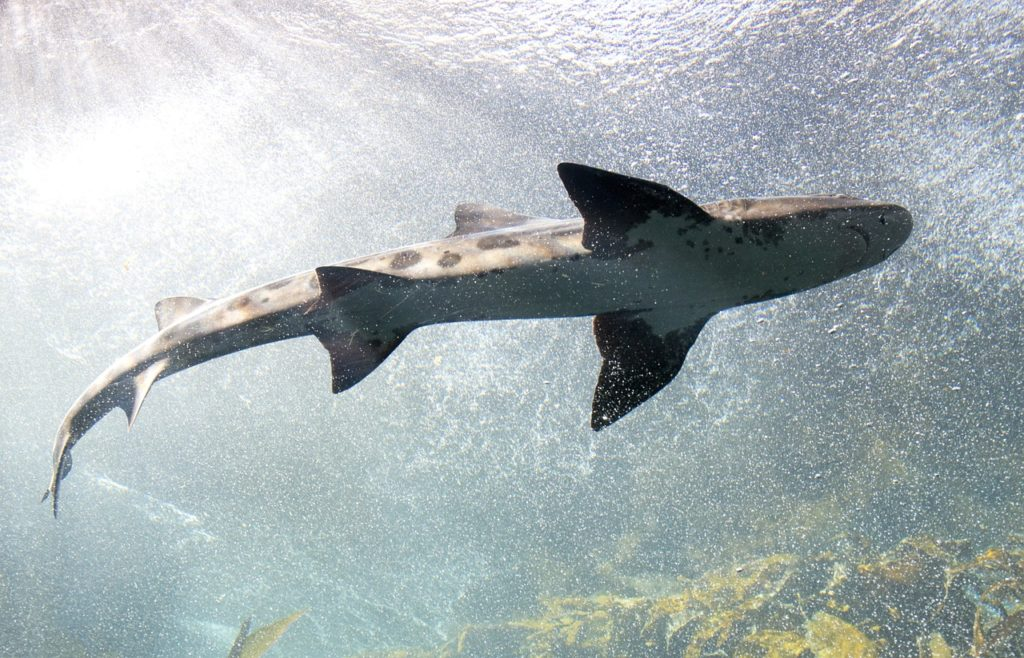 Shark (from below)