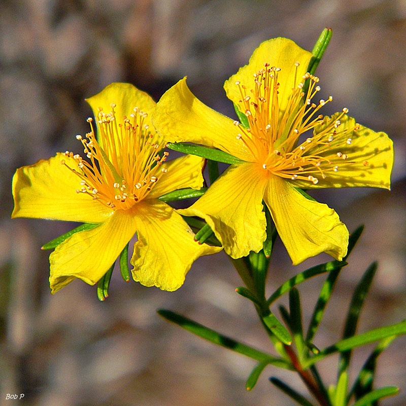 Medicinal plant: St John's Wort