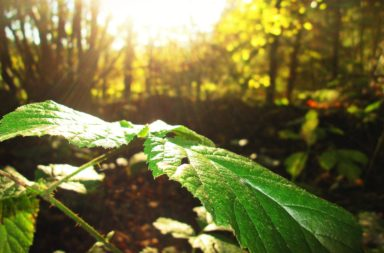 Sunlight on a Leaf (closeup)