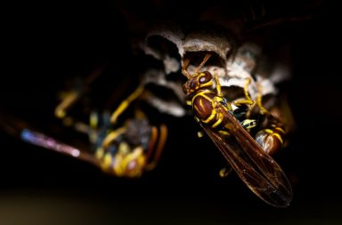 Wasp (closeup)