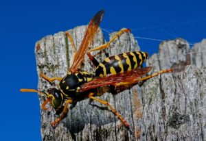 Yellowjacket / Wasp