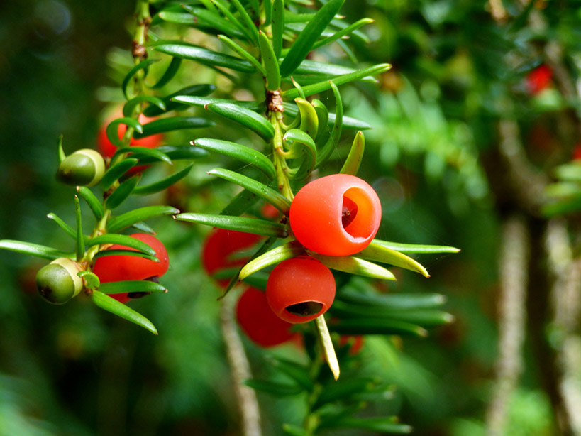 Poison Yew Berries