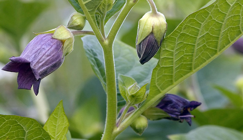 Belladonna Poisonous Nightshade