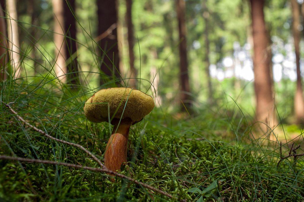 Boletus edible mushrooms