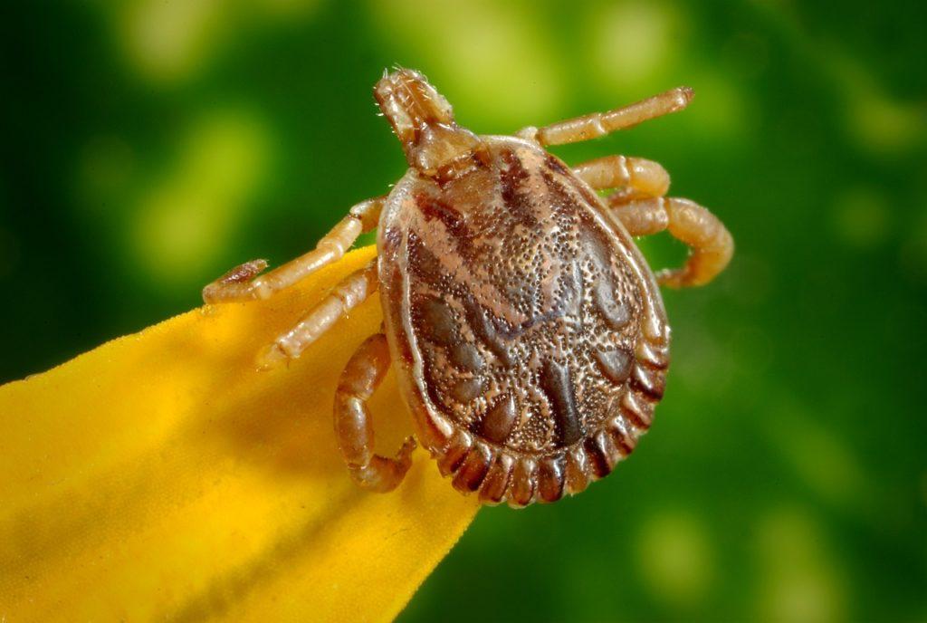 Cayenne Tick