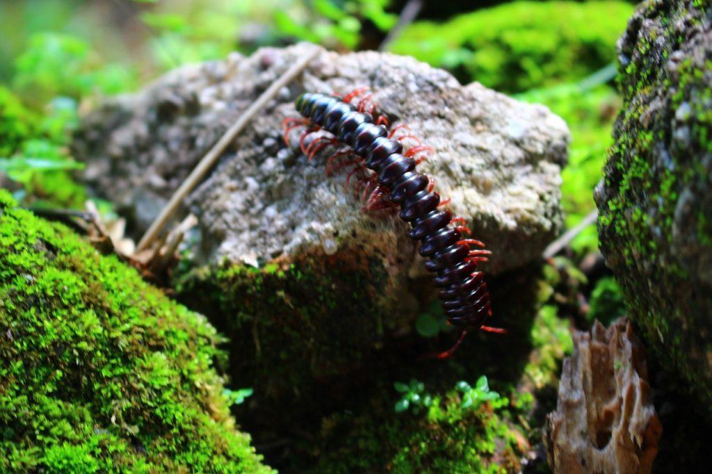 Centipede in Brazil (scolopendra)