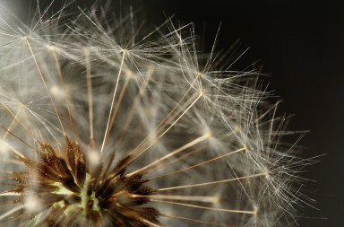 Dandelion (closeup)