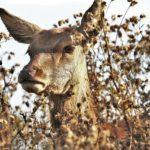 Deer (closeup)