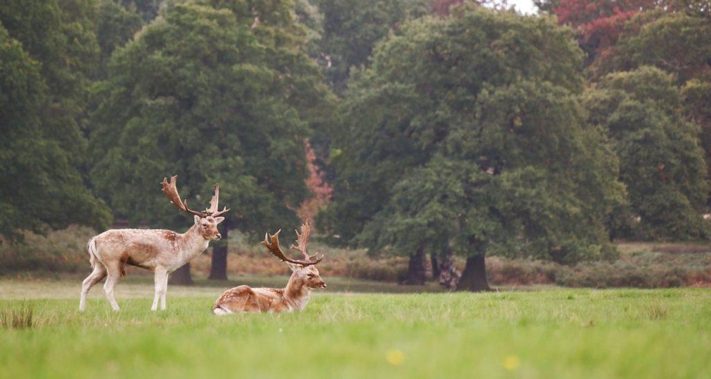 Elk in a green field