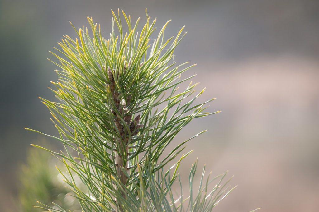 Pine needles (closeup)