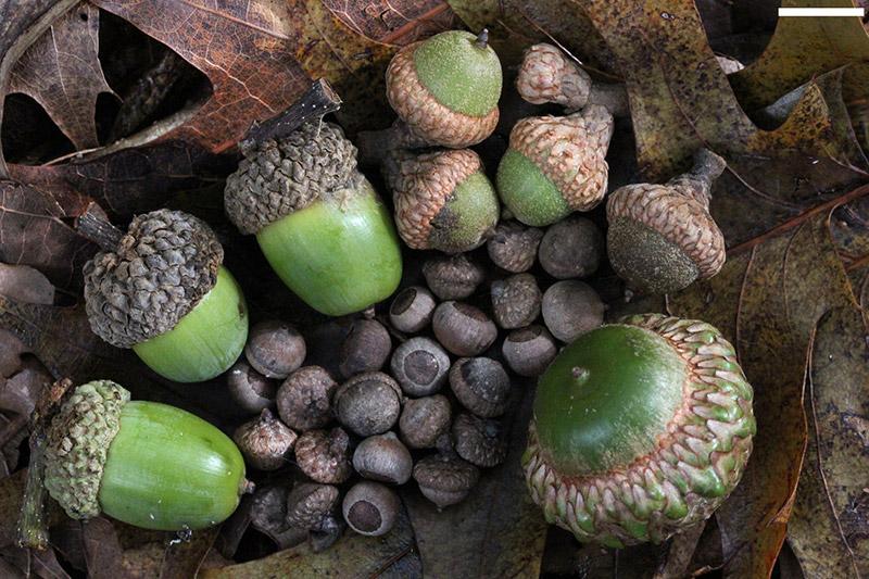 Raw Acorns