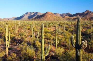 Saguaro Cacti in Saguaro National Park