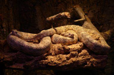 Spotted Rattlesnake