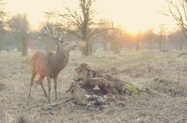 Stag Deer Alone in Woods