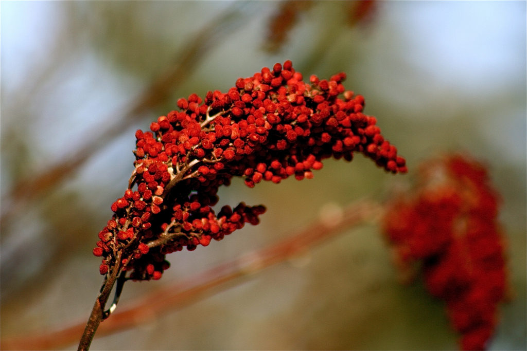 Berries of the Sumac Spice Plant