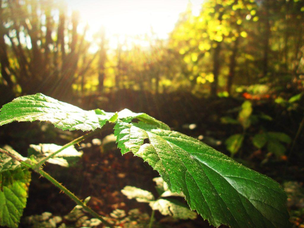 Sunlight on a Leaf (closeup)
