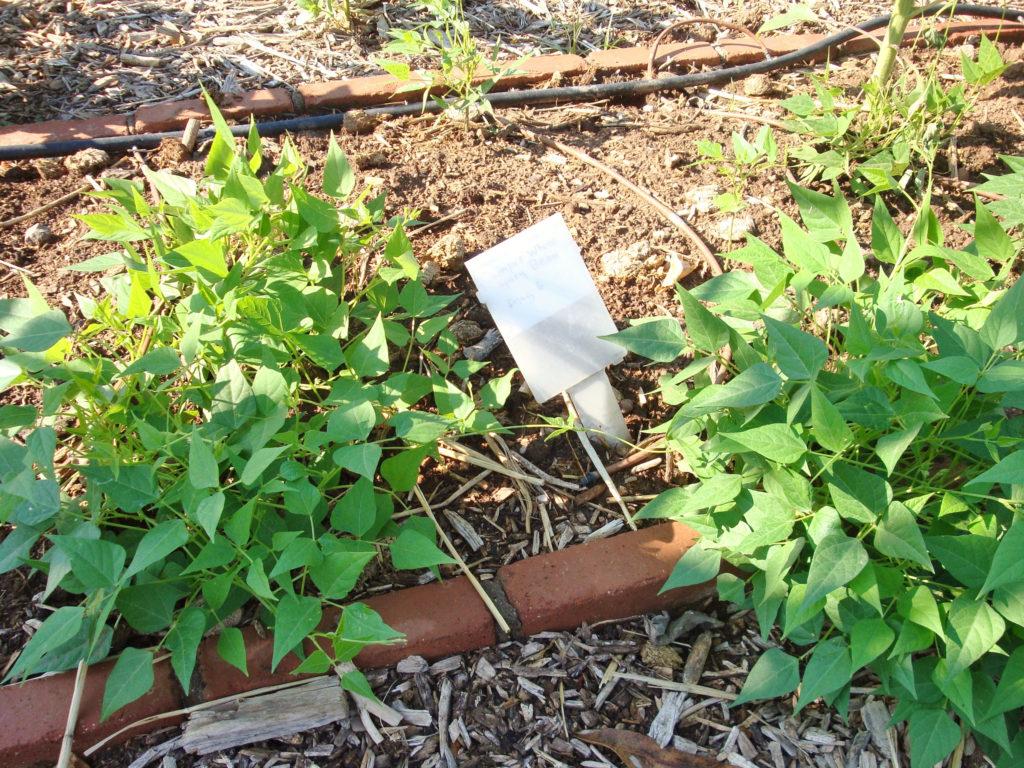 Tepary Bean Plant