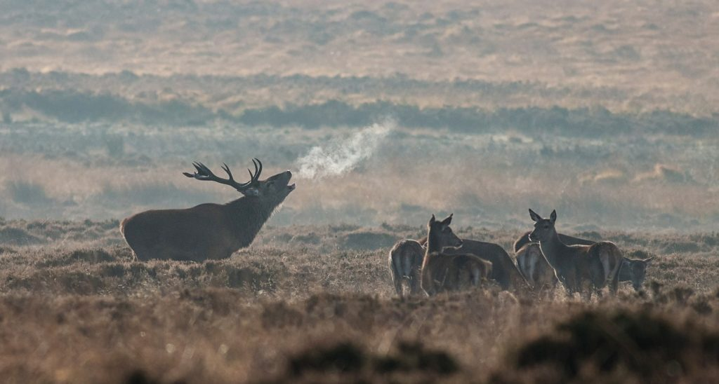 Wild Elk Herd