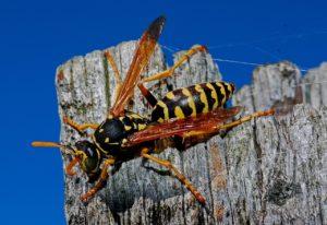 Yellowjacket / Wasp